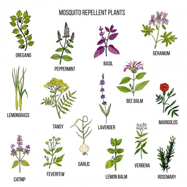 Best mosquito repellent plants . Hand drawn vector set of medicinal plants