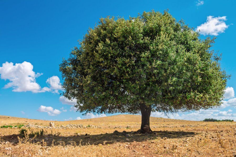 Arganträd
